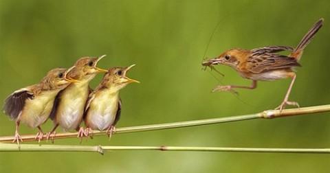 Vì sao chim chưa mở mắt mà vẫn đớp trúng mồi?