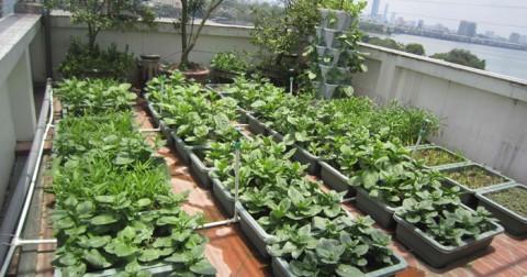 Cách biến rác thải thành phân bón cho vườn rau trên sân thượng