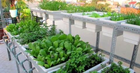 6 kinh nghiệm trồng rau trên sân thượng cho cả gia đình ăn không hết.