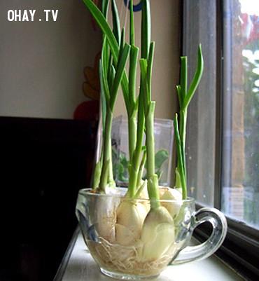 1. Tỏi,rau sạch,thực phẩm sạch,trồng rau sạch tại nhà