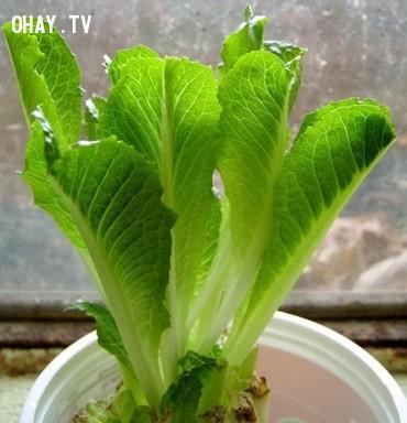 5. Rau diếp,rau sạch,thực phẩm sạch,trồng rau sạch tại nhà