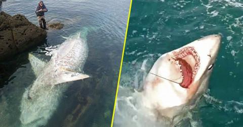 Cận cảnh cá mập dài gần 3m mắc câu ngư dân Anh