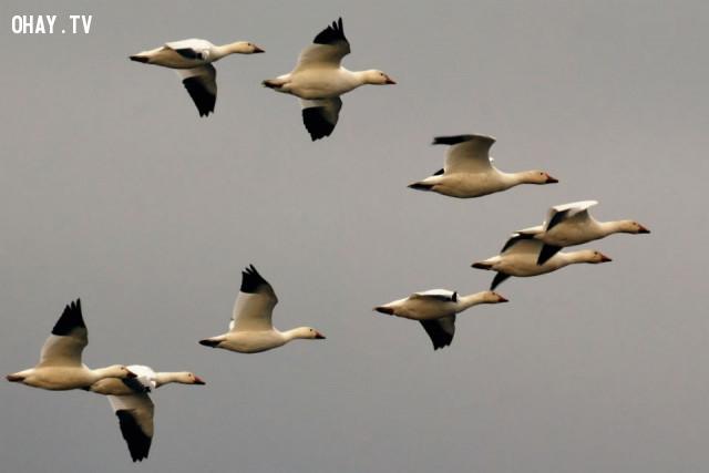 Chim bay theo đàn thường dàn hình chữ V,những điều thú vị trong cuộc sống