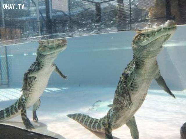 Thực ra mấy con cá sấu cũng không đến nỗi xấu và đáng sợ nếu nhìn từ bên dưới như thế này,những điều thú vị trong cuộc sống