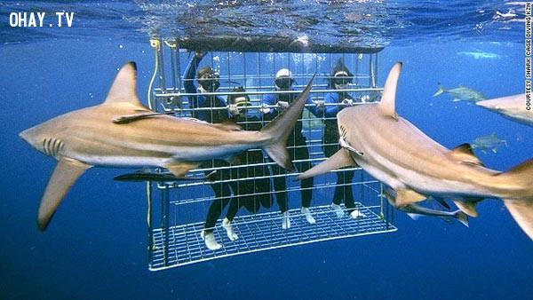 1. Lặn biển ngắm cá mập ở Hawaii,trò chơi cảm giác mạnh
