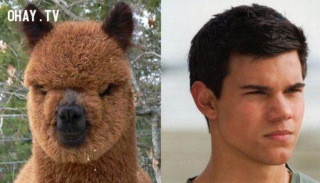 Taylor Lautner và loài Alpaca,