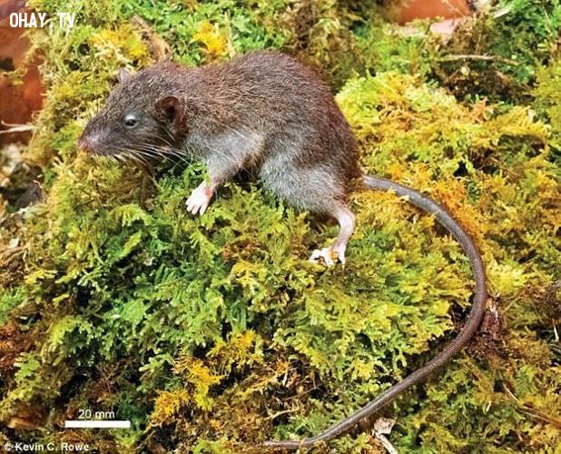 Loài chuột rễ Sulawesi ăn thịt (Gracilimus radix) được tìm thấy ở Sulawesi, Indonesia. Chúng ăn cả thực vật và động vật, đôi khi ăn rễ cây.,thế giới động vật