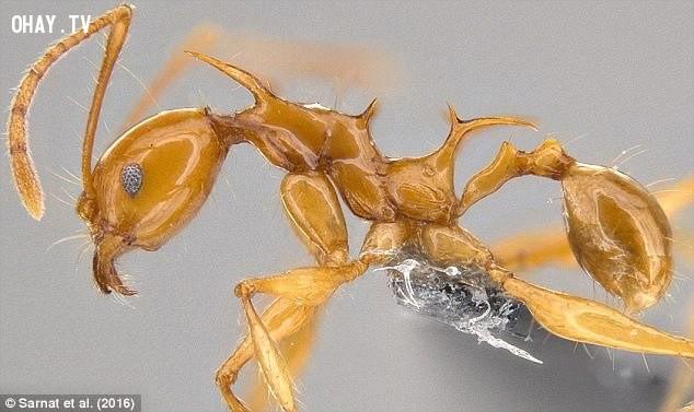 Loài kiến có gai Pheidole drogon trông giống rồng, tìm thấy ở Papua New Guinea. Tên nó được đặt theo tên con rồng 'Drogon' trong phim Trò chơi vương quyền.,thế giới động vật