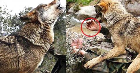 Ông lão cứu sống sói mẹ bị thương nhận kết thảm và đâu là bài học ?