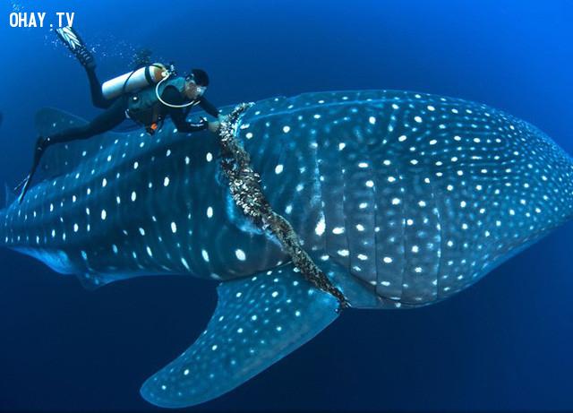 Người thợ lặn cố lấy một vật thể lạ quấn quanh con cá mập voi ở ngoài khơi Roca Partida, Mexico. Ảnh: National Geographic.,ảnh đẹp,ảnh thiên nhiên