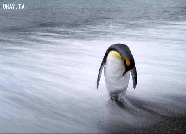 Con chim cánh cụt đơn độc đứng trên bãi biển đảo Nam Georgia, Nam Thái Bình Dương. Ảnh: National Geographic.,ảnh đẹp,ảnh thiên nhiên
