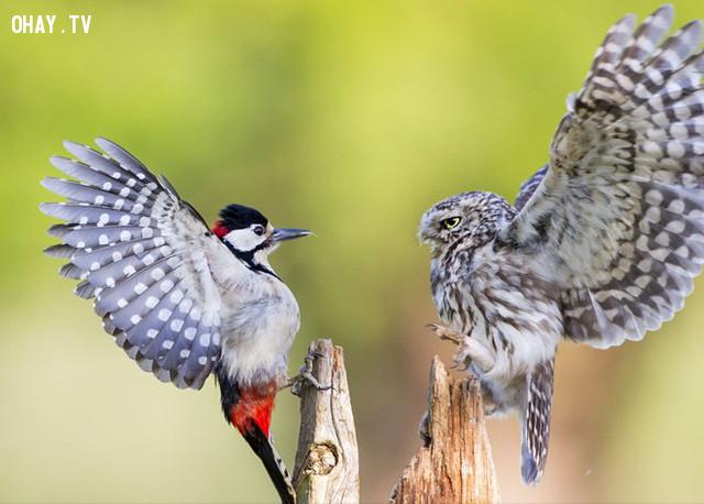 Con chim cú nhỏ (phải) bảo vệ lãnh thổ trước sự xâm lấn của con chim gõ kiến (trái) tại một khu rừng ở Droitwich, Anh. Ảnh: National Geographic.,ảnh đẹp,ảnh thiên nhiên