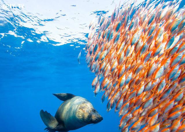 Con hải cẩu săn đàn cá màu cam sặc sỡ ở Sydney Australia. Ảnh: National Geographic.,ảnh đẹp,ảnh thiên nhiên