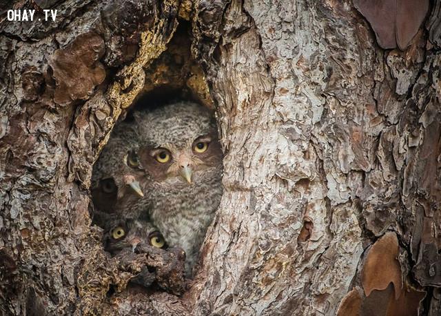 Những con cú ẩn mình trong thân cây ở đầm lầy Okefenokee, Georgia, Mỹ. Ảnh: National Geographic.,ảnh đẹp,ảnh thiên nhiên