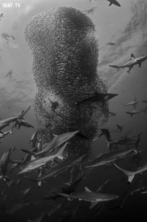 Phóng to Những con cá mập vây quanh một đàn cá nhỏ ở ngoài khơi cảng St. Johns, Nam Phi. Ảnh: National Geographic.,ảnh đẹp,ảnh thiên nhiên
