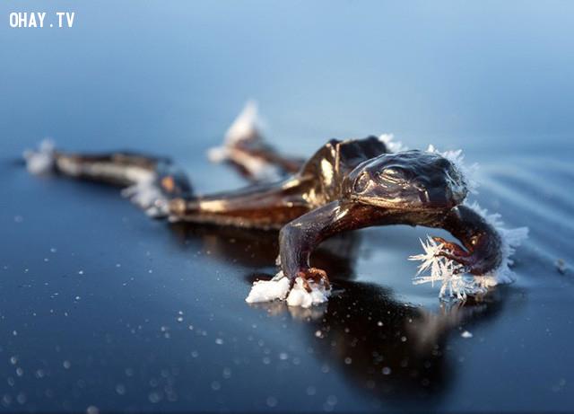 Con ếch băng đã chết và bị đóng băng trên hồ nước ở Bindingsvannet, Na Uy. Ảnh: National Geographic.,ảnh đẹp,ảnh thiên nhiên