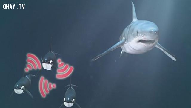 Cú tung đòn quật chết cá mập trắng của cá voi sát thủ