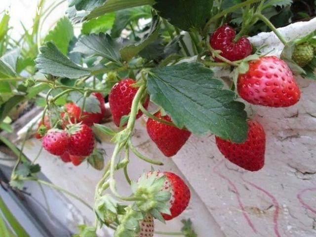 Cách chọn đất trồng dâu tây,cách trồng dâu tây,trồng dâu tây tại nhà,mẹo trồng trọt,thực phẩm sạch