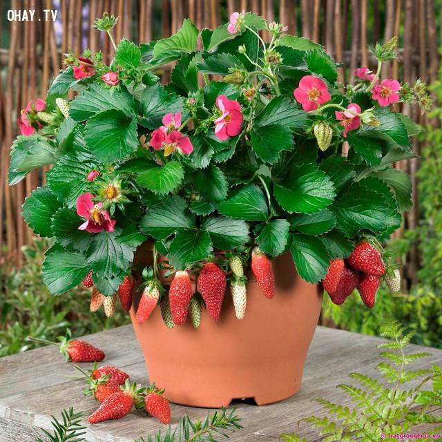 ,cách trồng dâu tây,trồng dâu tây tại nhà,mẹo trồng trọt,thực phẩm sạch