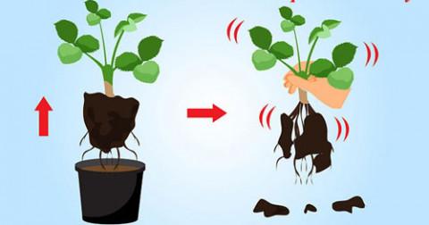Cách trồng dâu tây tại nhà đơn giản nhất