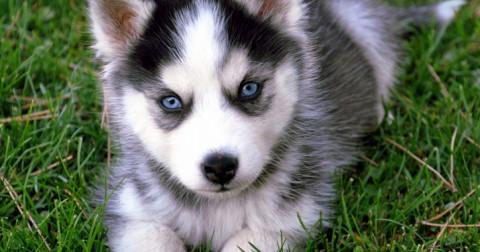 10 giống chó con dễ thương nhất quả đất