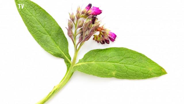 2. Trà được làm từ comfrey,tác dụng của trà xanh,các loại trà