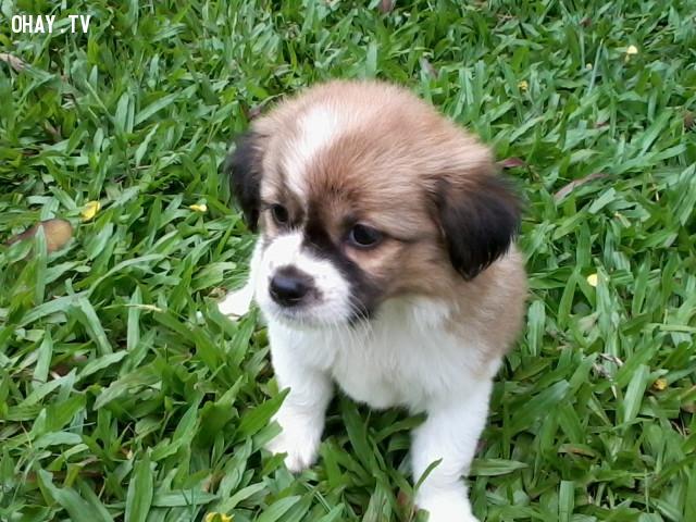 Các giống chó lai,chó nhỏ,cún cưng,thú cưng,các giống chó nhỏ