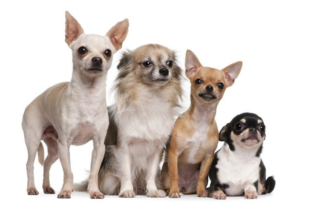 Chihuahua,chó nhỏ,cún cưng,thú cưng,các giống chó nhỏ