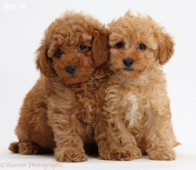 Poodle,chó nhỏ,cún cưng,thú cưng,các giống chó nhỏ