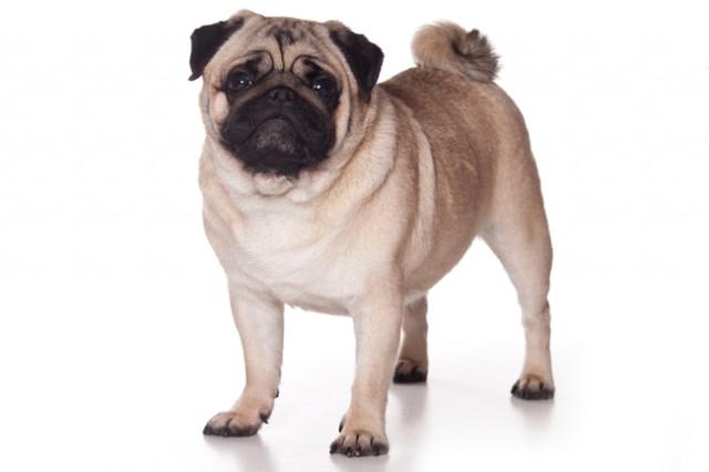 Pug,chó nhỏ,cún cưng,thú cưng,các giống chó nhỏ