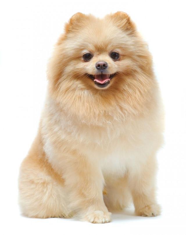Pomeranian (Phốc sóc),chó nhỏ,cún cưng,thú cưng,các giống chó nhỏ