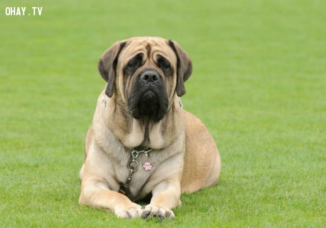 #10. Chó ngao Anh,giống chó trung thành,các giống chó