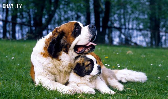 #4. St. Bernard,giống chó trung thành,các giống chó