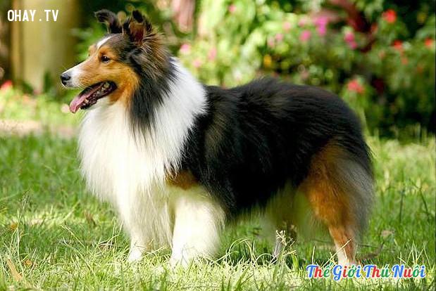 #2. Chó chăn cừu Shetland,giống chó trung thành,các giống chó