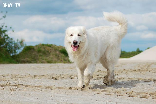#1. Chó núi Pyrenees,giống chó trung thành,các giống chó
