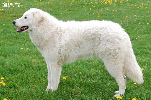 #6. Kuvasz,giống chó trung thành,các giống chó