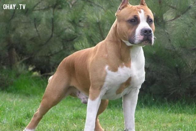 #9. Chó sục Pitbull Mỹ,giống chó trung thành,các giống chó