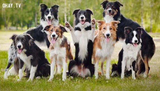 #5. Collie lông dài,giống chó trung thành,các giống chó