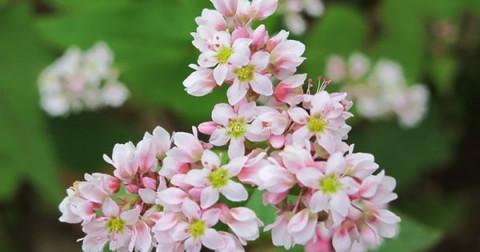 Vẻ đẹp của loài hoa mang tên 'Tam Giác Mạch' ở Hà Giang