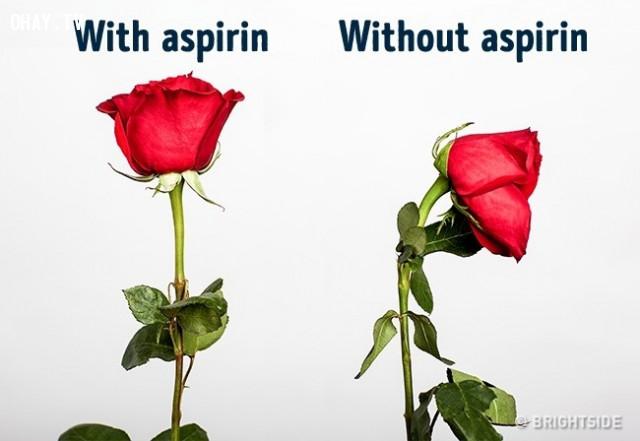 Hoa hồng sẽ tươi lâu hơn nếu bạn bỏ aspirin vào nước nước.,mẹo hay