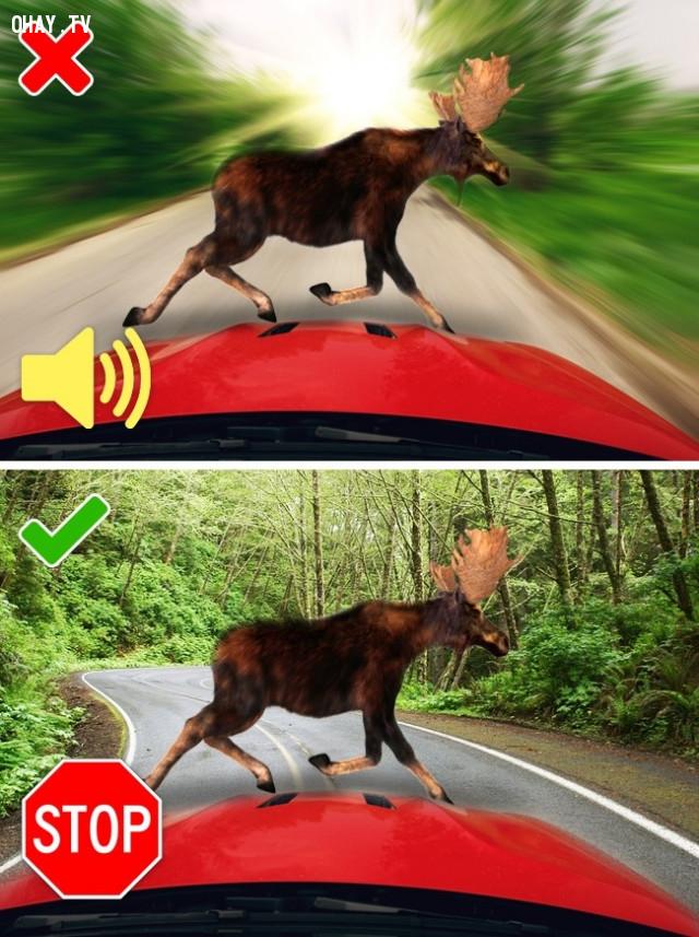 2. Khi bạn gặp hươu/nai/lợn rừng hay các loài thú hoang lớn khác trên đường khi lái xe,