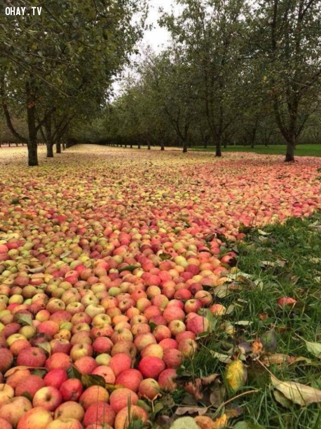 Một vườn táo sau cơn bão Ophelia ở Ireland,hình ảnh khó tin,thiên nhiên