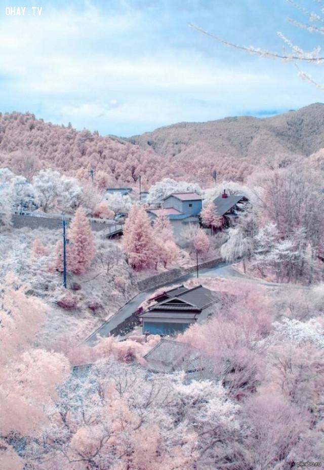 Khi hoa anh đào vẫn còn nở nhưng tuyết đã rơi,hình ảnh khó tin,thiên nhiên