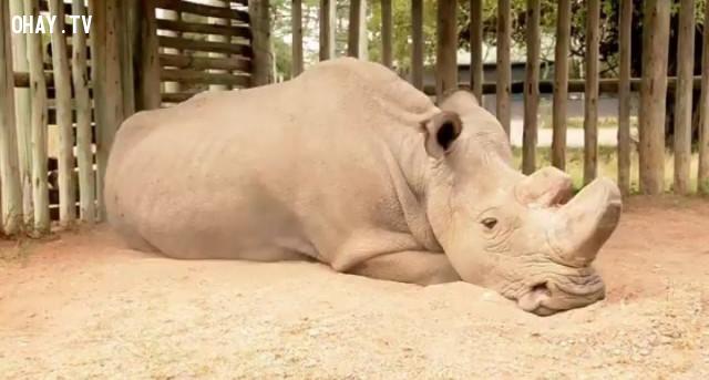 Chú tê giác buồn bã,sự giao tiếp của động vật,ngôn ngữ động vật,vẹt xám châu phi,tê giác sudan,chú chó hachiko,chim cánh cụt grape