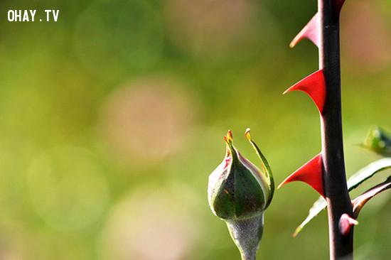 2. Gai của hoa hồng thực chất chỉ là một loại lông cứng ,các loài hoa,hoa hồng,những điều thú vị trong cuộc sống