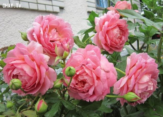 1. Hoa hồng được coi là quốc hoa của nhiều nước trên thế giới,các loài hoa,hoa hồng,những điều thú vị trong cuộc sống