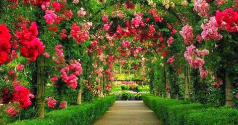 Hoa hồng và những điều có thể bạn chưa biết
