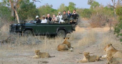 Tại sao sư tử không tấn công du khách ngồi trên xe jeep mui trần?