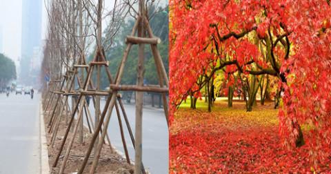 Phong lá đỏ xứ lạnh sao trồng được ở Hà Nội?