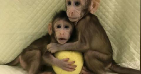 Trung Quốc thành công trong việc nhân bản vô tính khỉ - tiếp theo là nhân bản người?